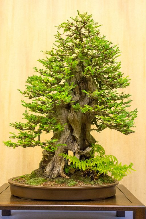 Grow a bonsai     Coastal redwood if I am not mistaken. Lovely proportions.