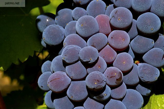 Photo De Grappe De Raisin Grappe De Raisin Raisin Paysage De Vigne