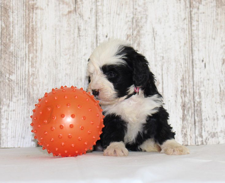 Lily A Female Mini Bernedoodle Pupper For Sale Born In