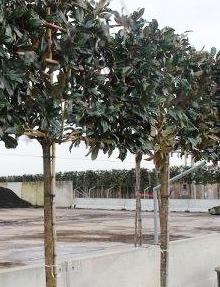 Magnolia Grandiflora Pleached Hedge Exterior Garden Trees