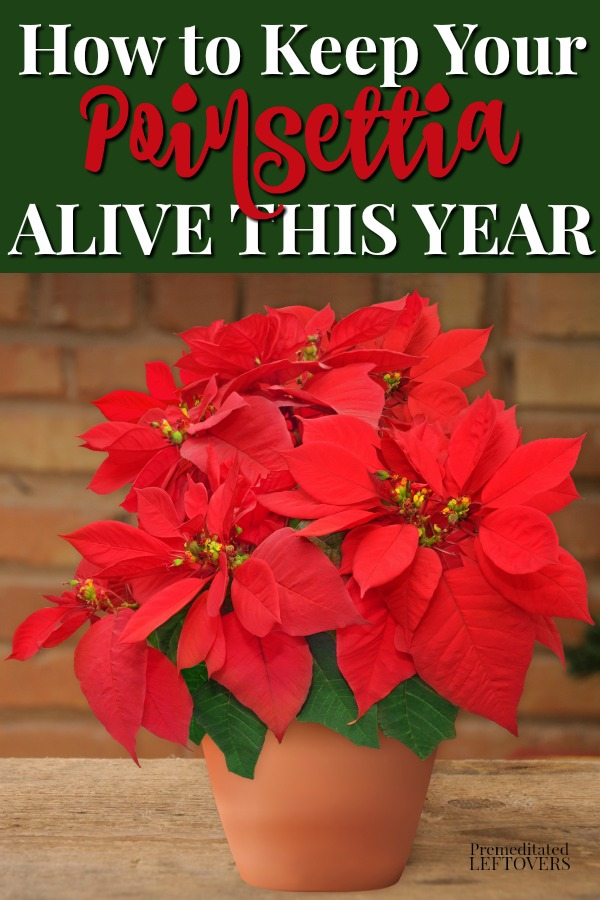 This Is How To Keep Your Poinsettia Plant Alive This Year Use These Gardening Tips To Care For Poinsettias Including Poinsettia Plant Poinsettia Care Plants