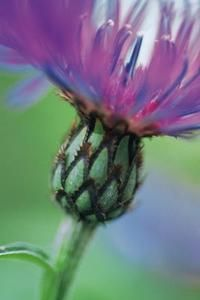Perennial bachelors buttons unusual buds produce exotically fringed blooms.
