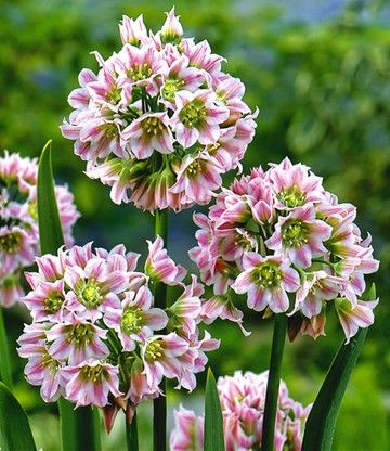 Allium South Bells