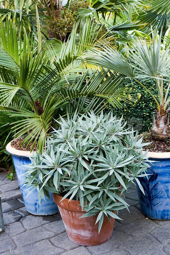 potted sub tropical plants (Echium candicans, Jubaea chilensis and Brahea  armata)