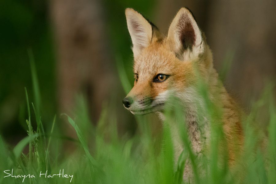 Red Fox by Shayna Hartley