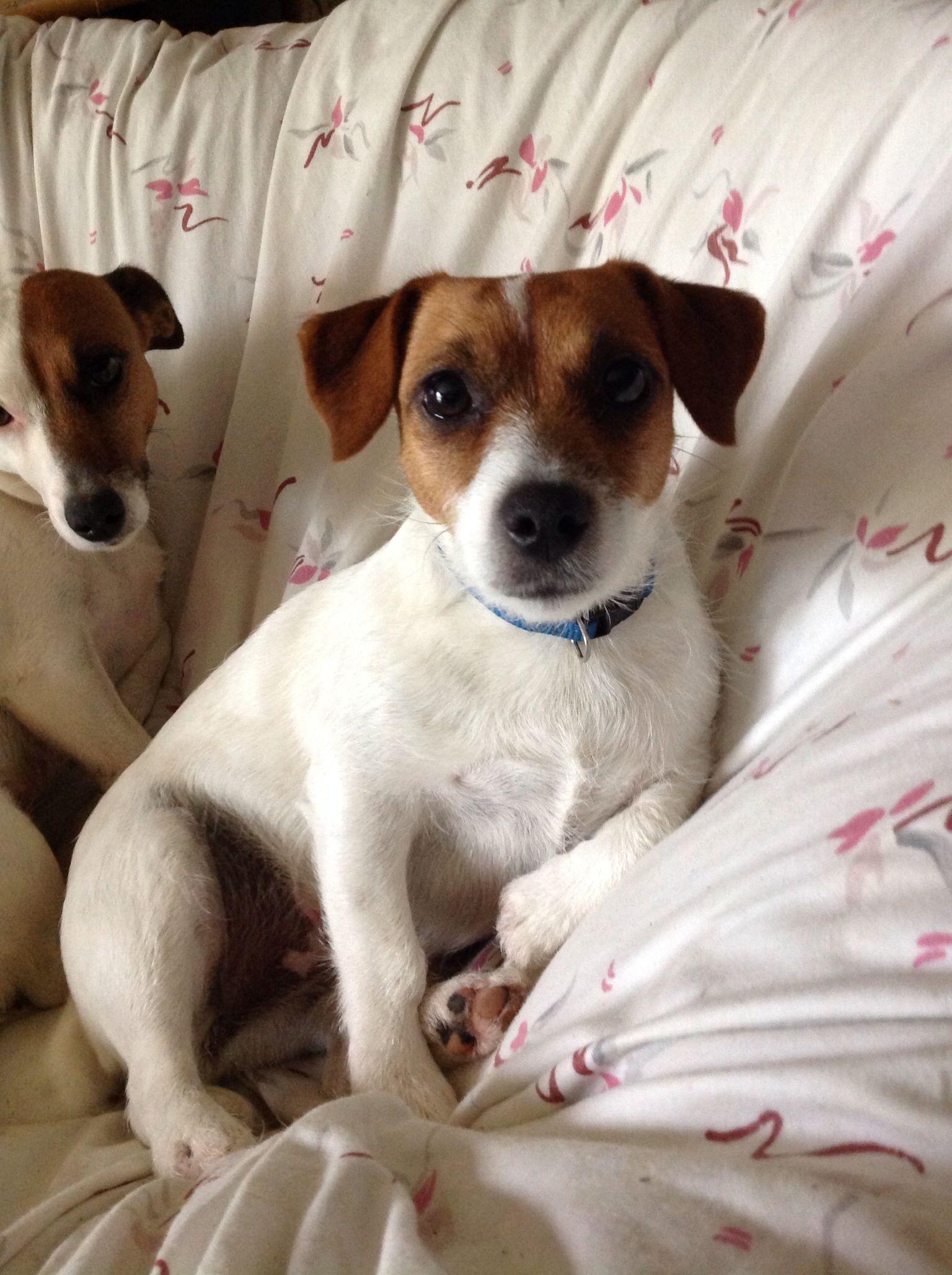 White labrador puppies for sale scotland