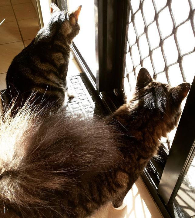 Skelly and Shumba enjoying the much awaited sunshine. . .#sunshineday #catsofwagga #catstagram #catsofinstagram #kitty #petsitter #wagga #waggawagga #suzspetservices - http://ift.tt/1HQJd81