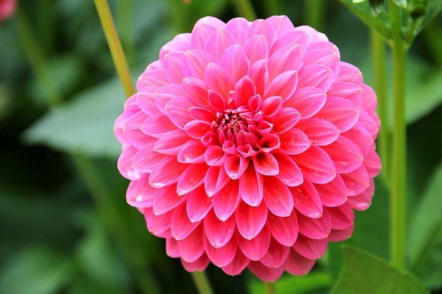 Dalia Meses Outubro A Dezembro Growing Dahlias Flowers Dahlia Flower