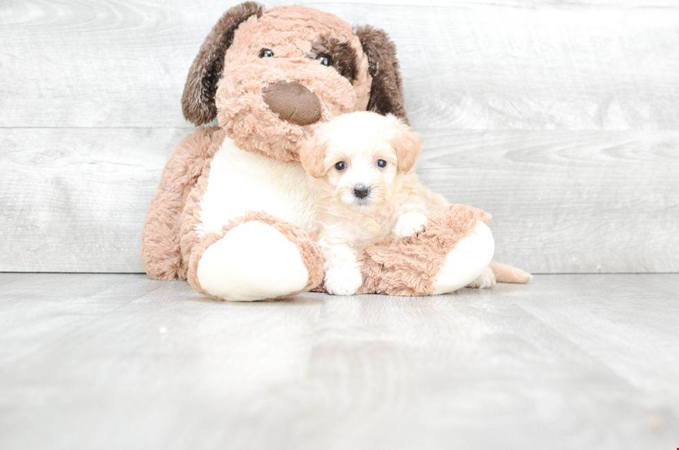 Malti Poo Puppies For Sale Ohio Maltipoo Pups Online Maltipoo
