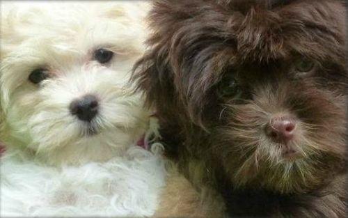 Akc Havanese Puppies Havanese Dogs Puppies Havanese Puppies