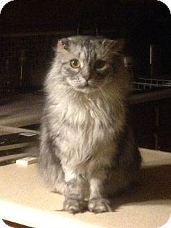 Colorado Springs Co Scottish Fold Meet Ingram A Cat For Adoption Cat Adoption Kitten Adoption Pets