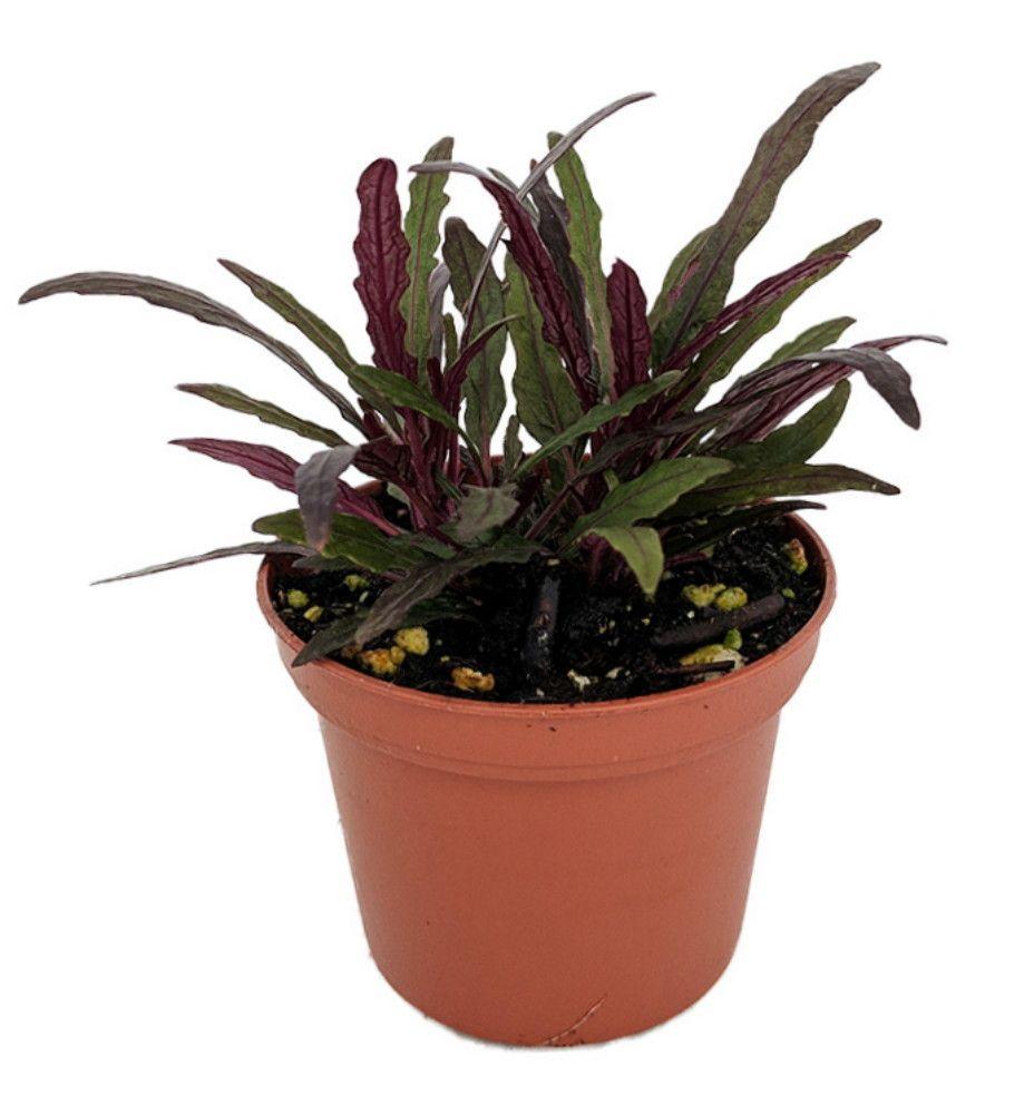 Dragon S Tongue Plant Hemigraphis Terrarium Fairygarden Houseplant 2 5 Pot Plants Potted Plants Outdoor House Plants
