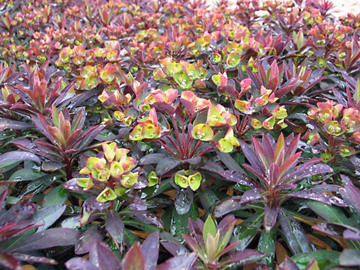Euphorbia Blackbirdquestionable hardiness in Chicago