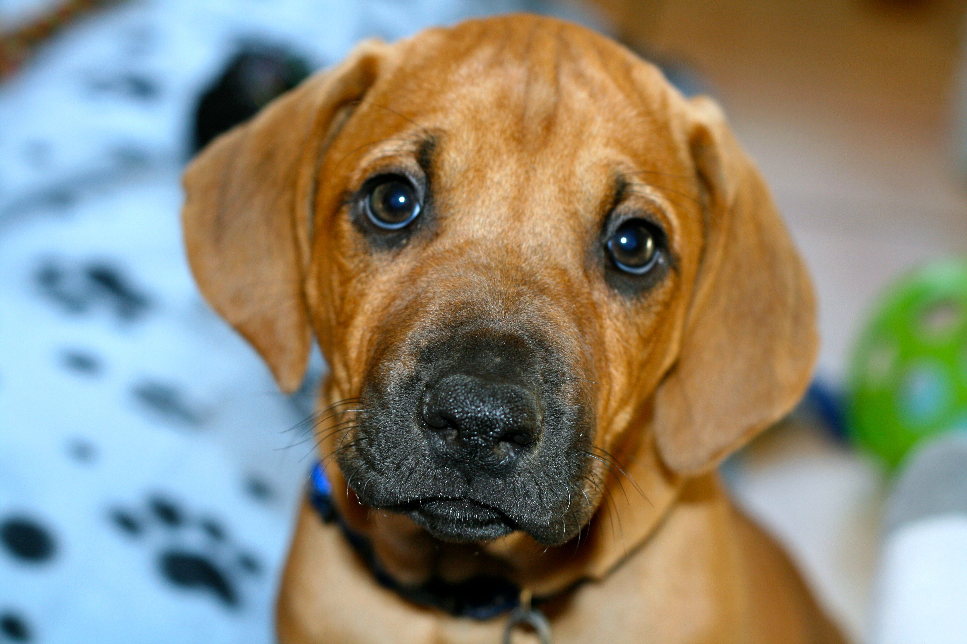 I'd be hard pressed to say there's a puppy any cuter than a Rhodesian Ridgeback puppy. I love my babies..