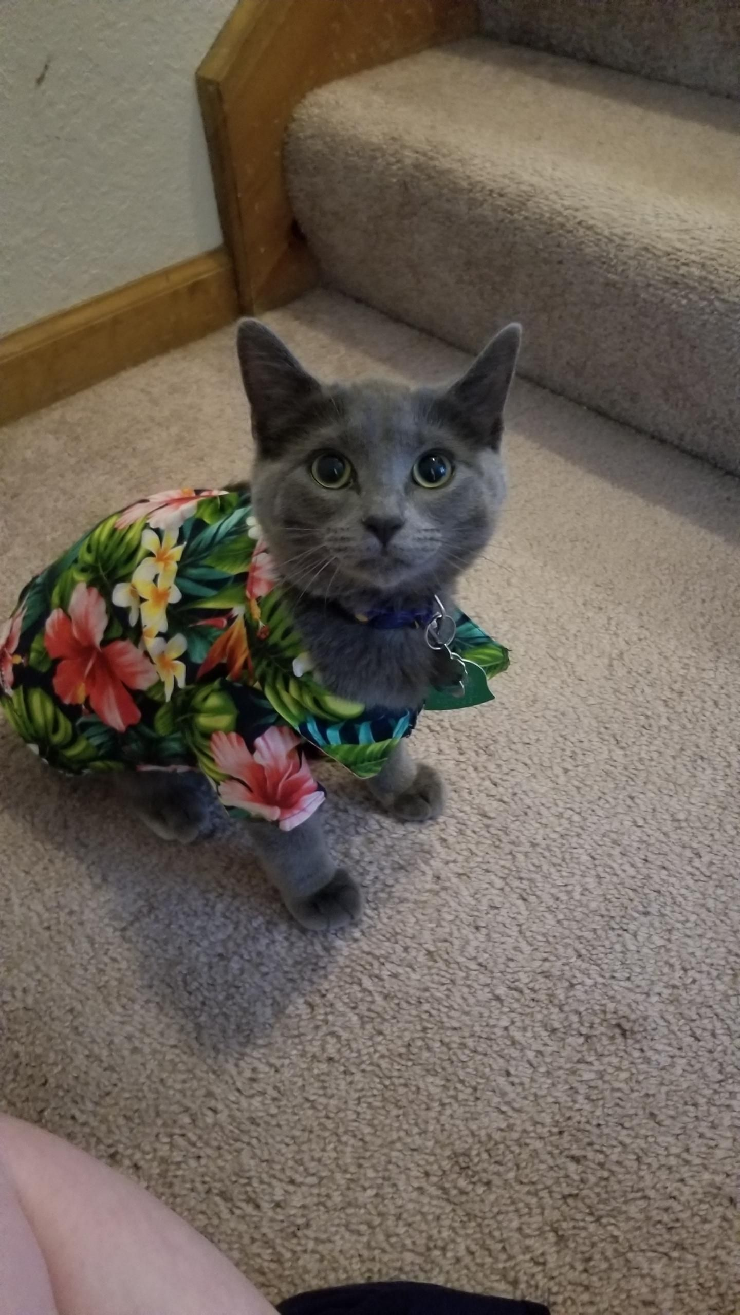 I Made My Kitten A Hawaiian Shirt More Outfits To Come Cat Post Funny Animal Photos Animal Photo