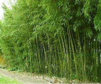 bamboo for shady sf gardens semiarundinaria fastuosa. Black Bedroom Furniture Sets. Home Design Ideas