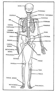 photo about Printable Skeleton Bones called absolutely free printable bones of the human entire body Determine 1-1. The