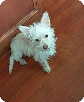 Mesa Az Cairn Terrier Mix Meet Dee Dee 3 Mo Cairn Petco A