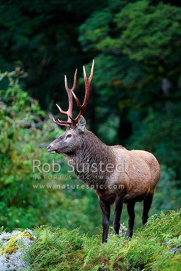 Moose Elk Hybrid : moose, hybrid, Animals, Around, World