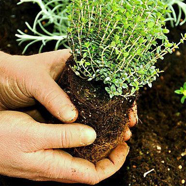 Kr uter zur ckschneiden pflanzen oder s en pflanzen - Balkongarten anlegen ...