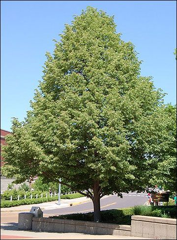Linden Tree Aka Basswood Shade Trees Street Trees Landscaping Plants