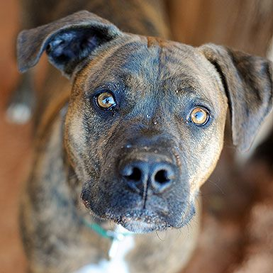 Adopt from Our Sanctuary Boxer dogs, Animal society