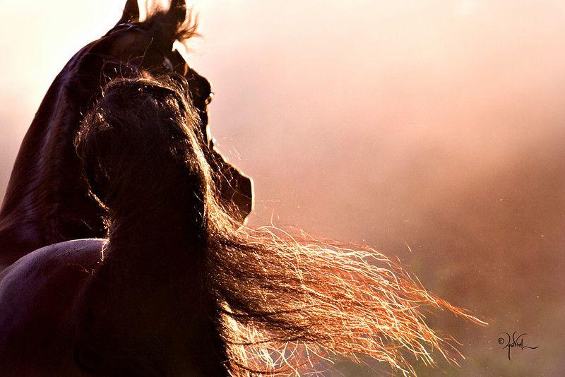 Bey Ambition :: AHBA - Arabian Horse
