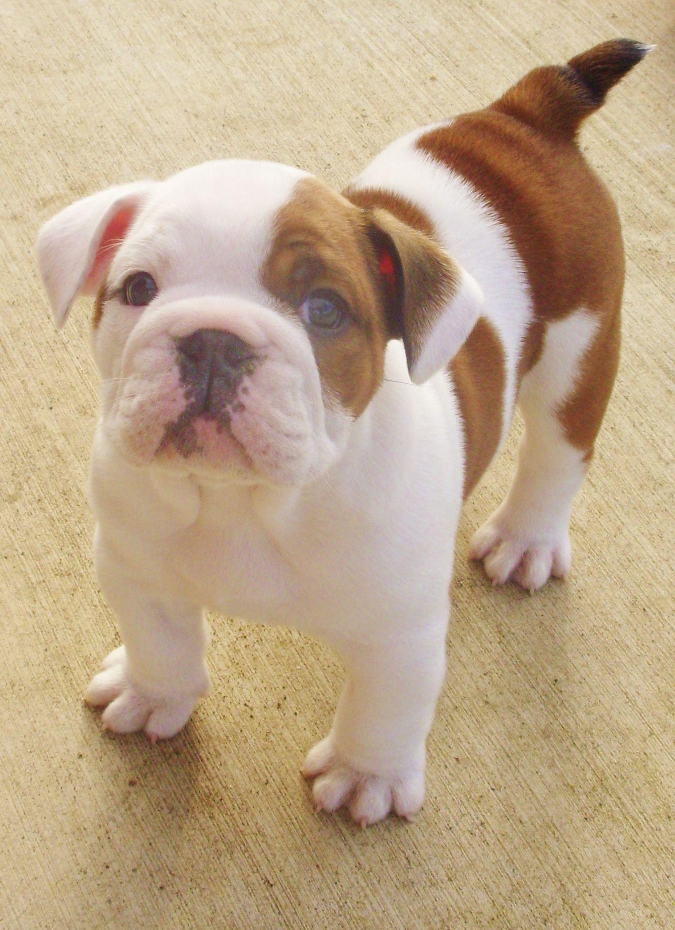 English Bulldog Lilly My New Baby Bulldog Bulldog Puppies Dog Rules