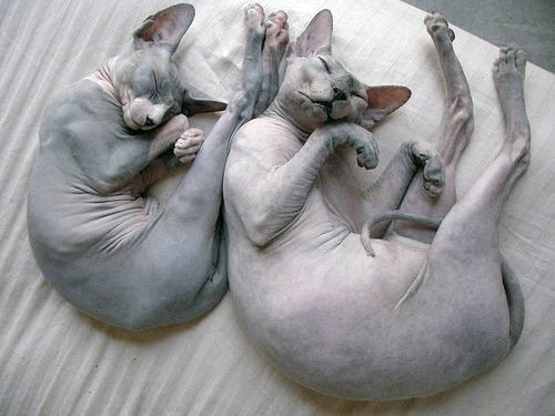 What's better than one hairless cat?  TWO HAIRLESS CATS
