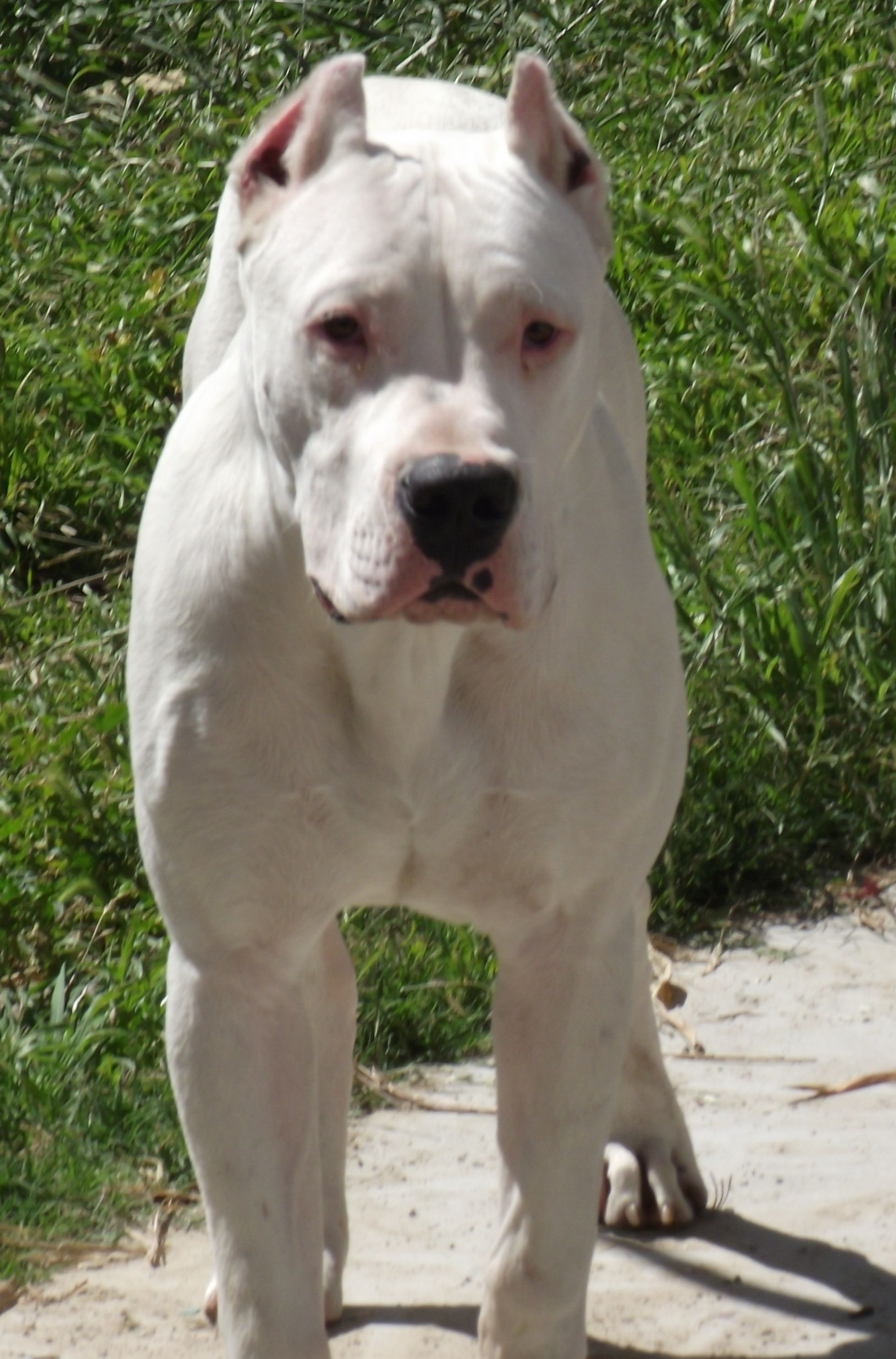 Dogostandard Jpg Dog Argentino Pitbull Terrier Dog Breeds