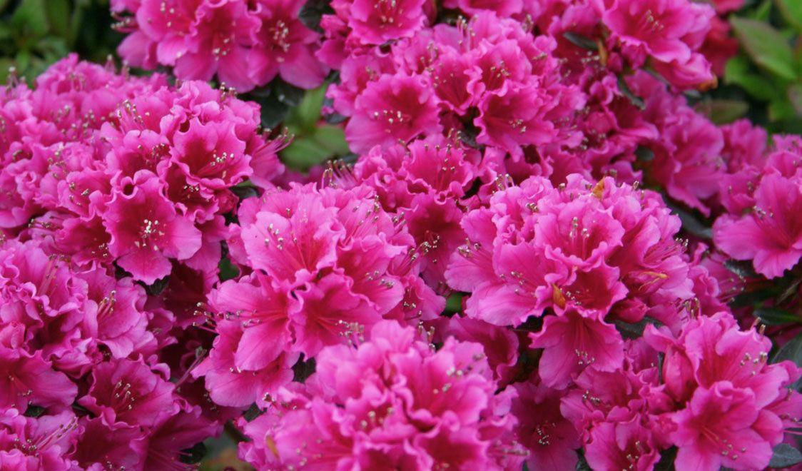 The Language Of Flowers Azalea Flower Beautiful Flowers Azaleas
