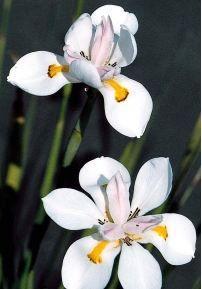 African Iris, Organic Drought Tolerant  Fire Resistant Hardy Pretty Perennial