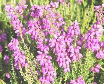 Fundanin Faydalari Nelerdir Funda Neye Iyi Gelir Heather Plant Heather Flower Types Of Flowers