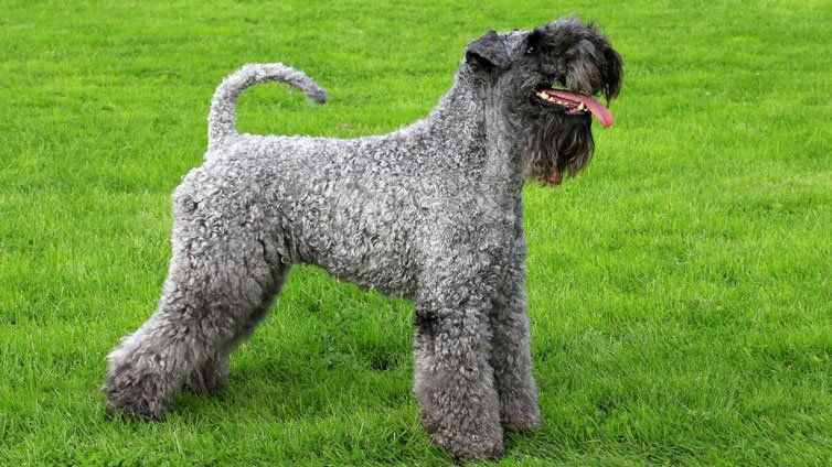 15 Dog Breeds That Don T Shed Much And Are Hypoallergenic Dog Breeds Medium Non Shedding Dog Breeds Irish Dog Breeds
