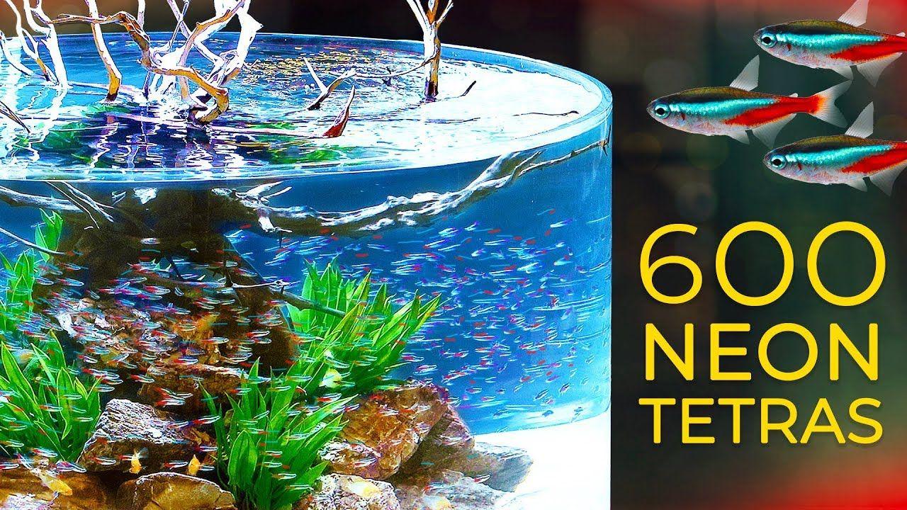 600 Neon Tetras Crazy Schooling Behavior Neon Neon Tetra Fish Gallery