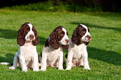Springer Spaniel Puppies For Sale In Minnesota (With