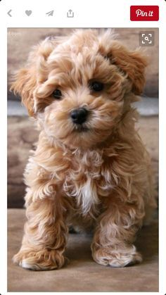 91bb8c0b980bcd Image result for teacup maltipoo full grown