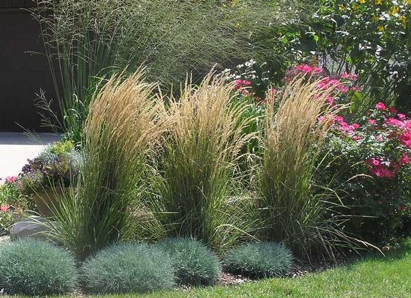 View image 39 feather reed grass karl foerster 39 front for Best tall grasses for privacy