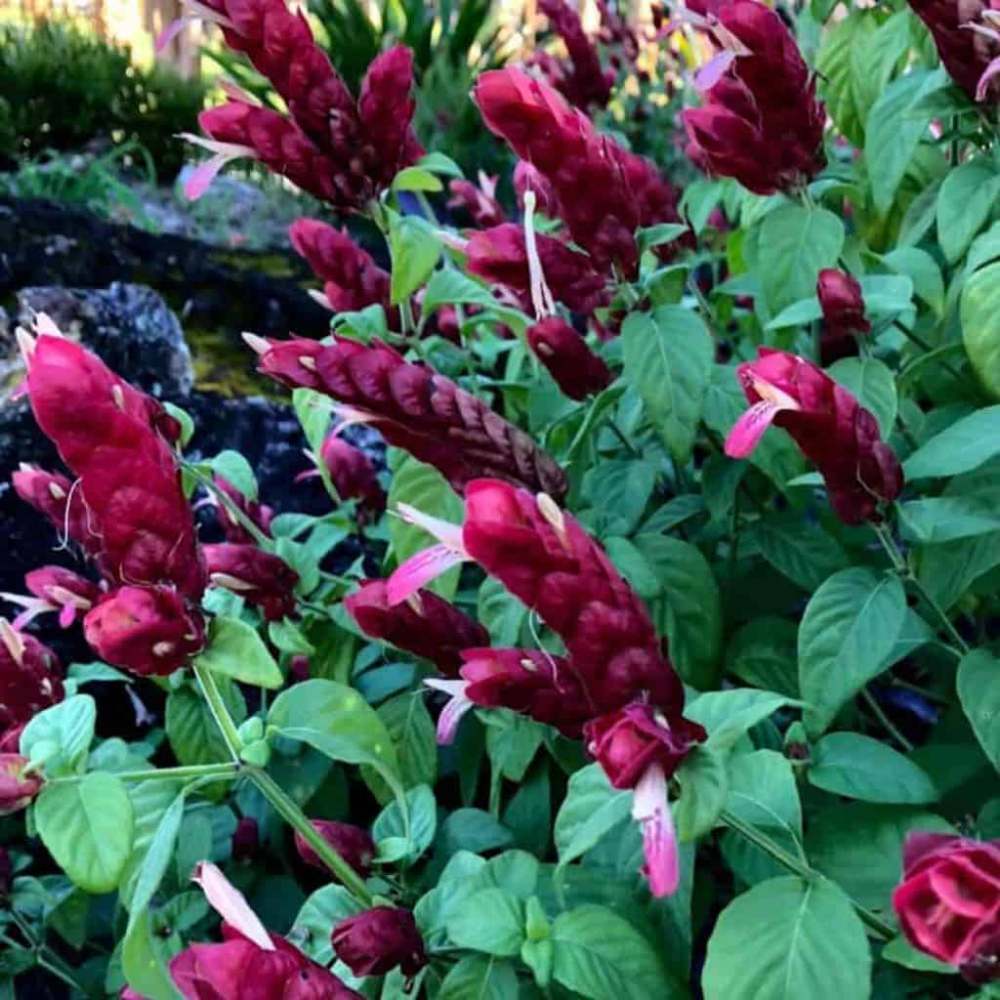 Red Shrimp Plant Care Justicia Brandegeeana Growing Requirements