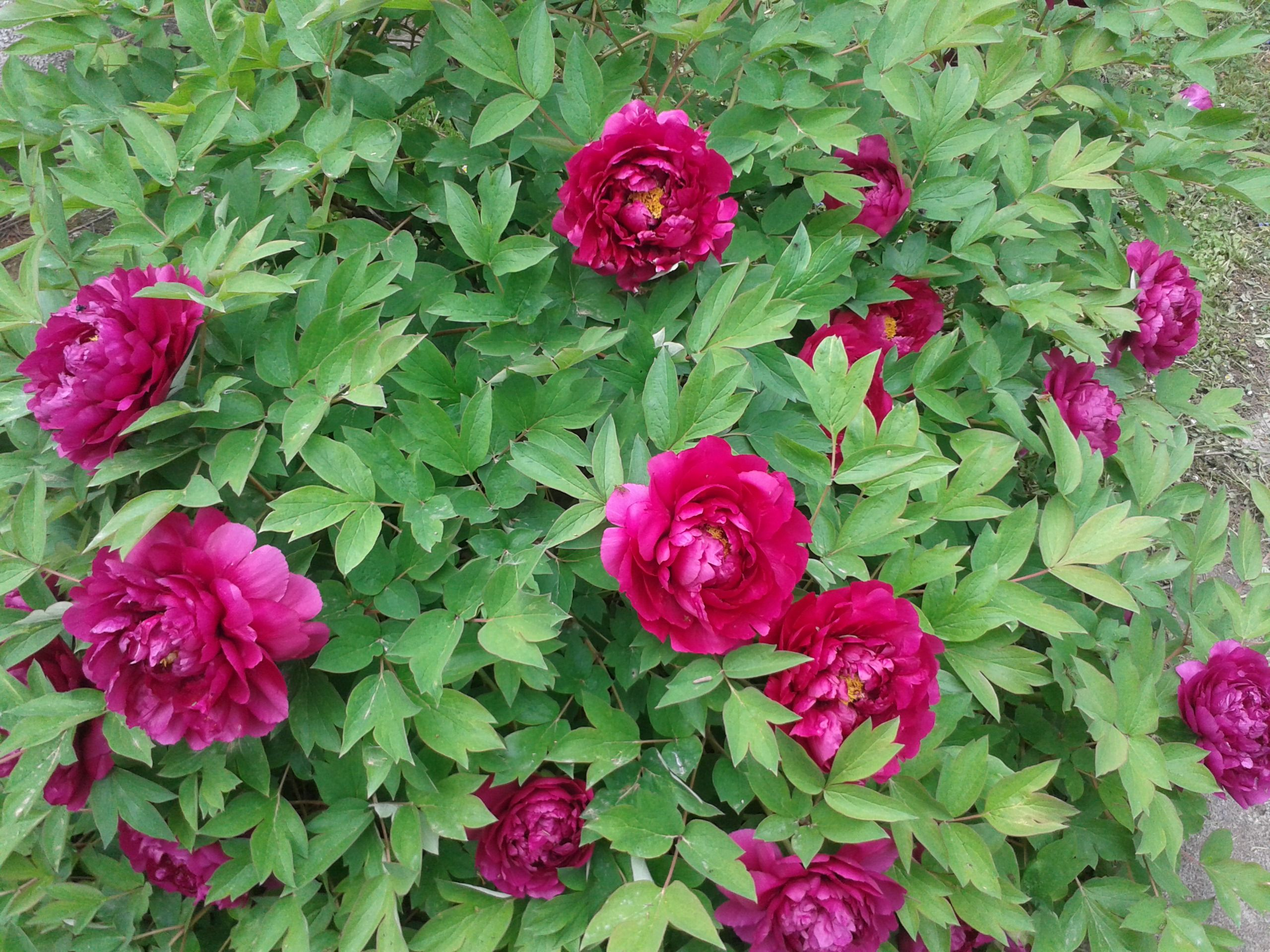 Paeonia - my garden