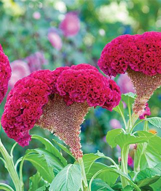 Red Velvet Celosia Seeds And Plants Annual Flower Garden At Burpee Com Flowers Annual Flowers Flower Seeds