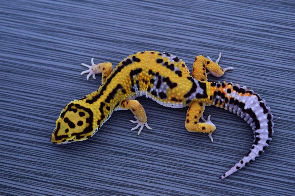 Leopard Geckos \'Fire bold\'   Amazing Pets   Pinterest