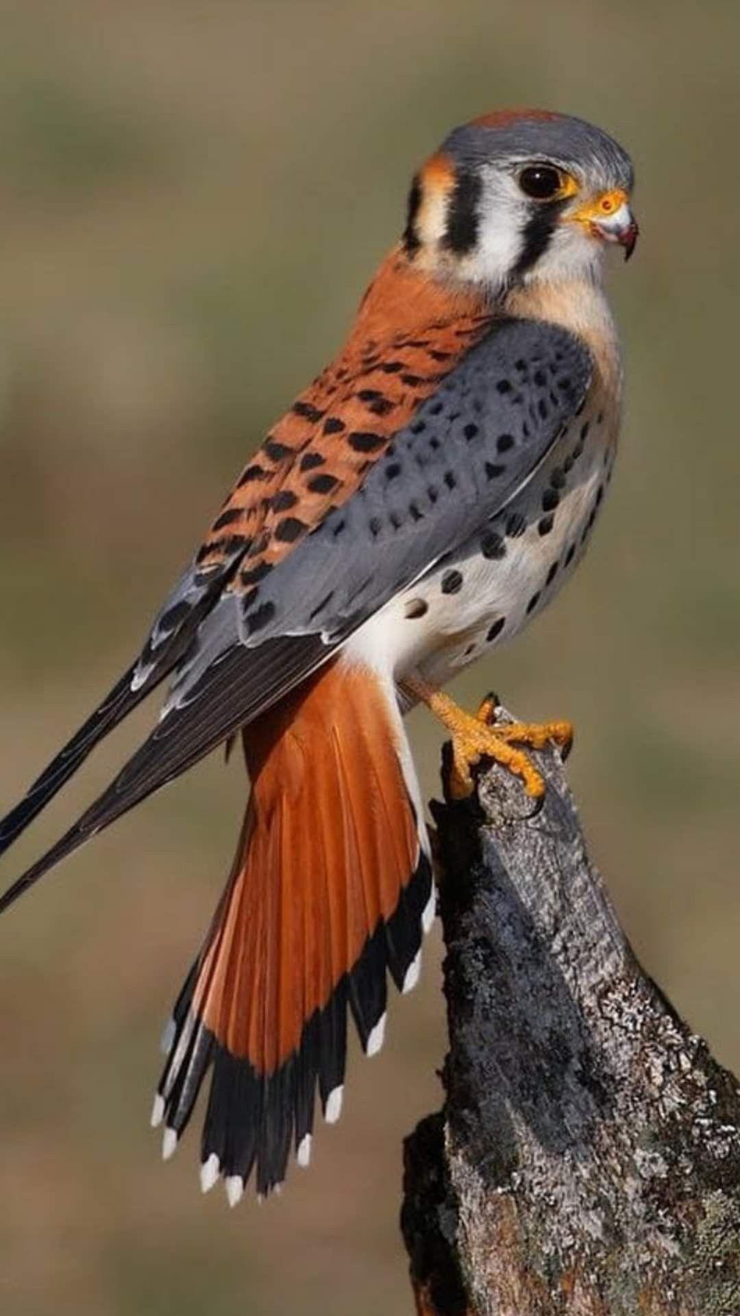 Aves de la costa del peru