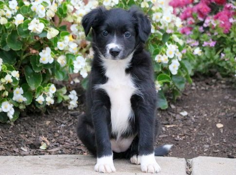Border Collie Puppy For Sale In Mount Joy Pa Adn 50356 On