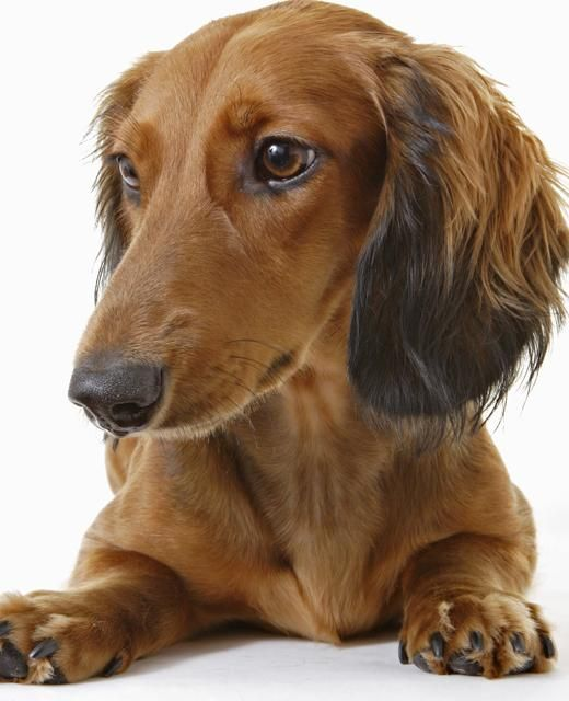 Dachshund Miniature Long Haired Dog Breed Information Brown Dog Names Long Haired Miniature Dachshund Long Haired Dachshund