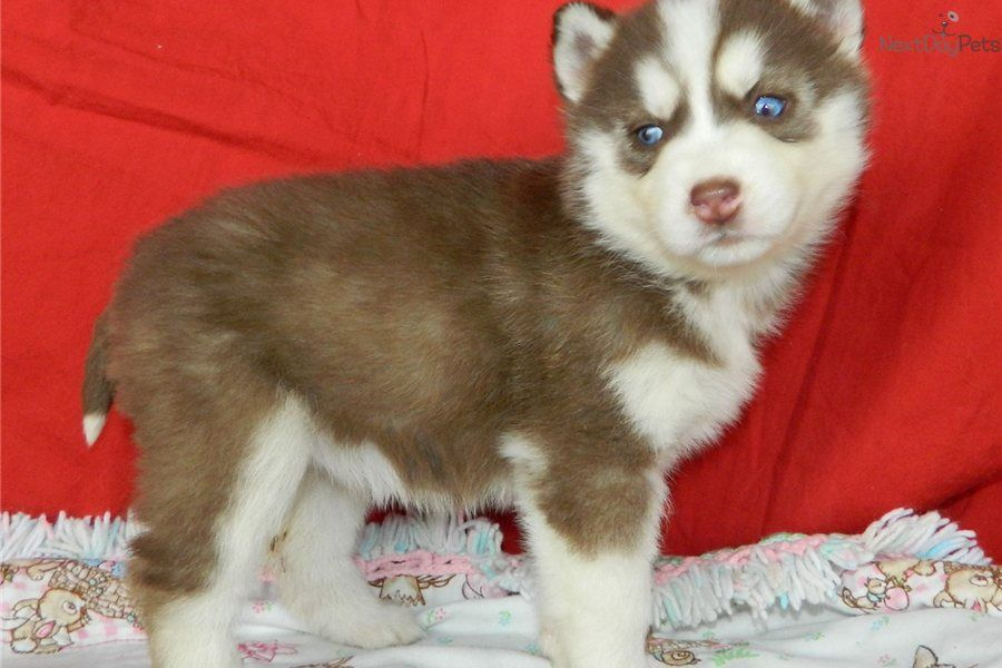 Image Red Husky Puppies With Blue Eyes Puppies With Blue Eyes