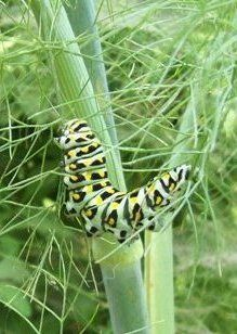 anise swallowtail caterpillar on fennel