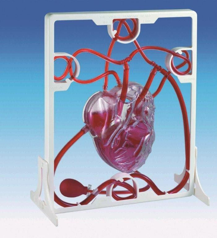 For The Science Class This Working Human Heart Model Will