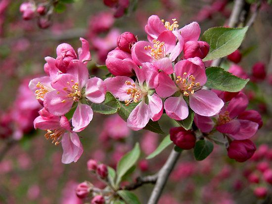 I Used To Walk Past A Row Of Crab Apple Trees Every Morning On My Way To The School Bus They Have A Completely I Apple Blossom Crab Apple Bach Flower