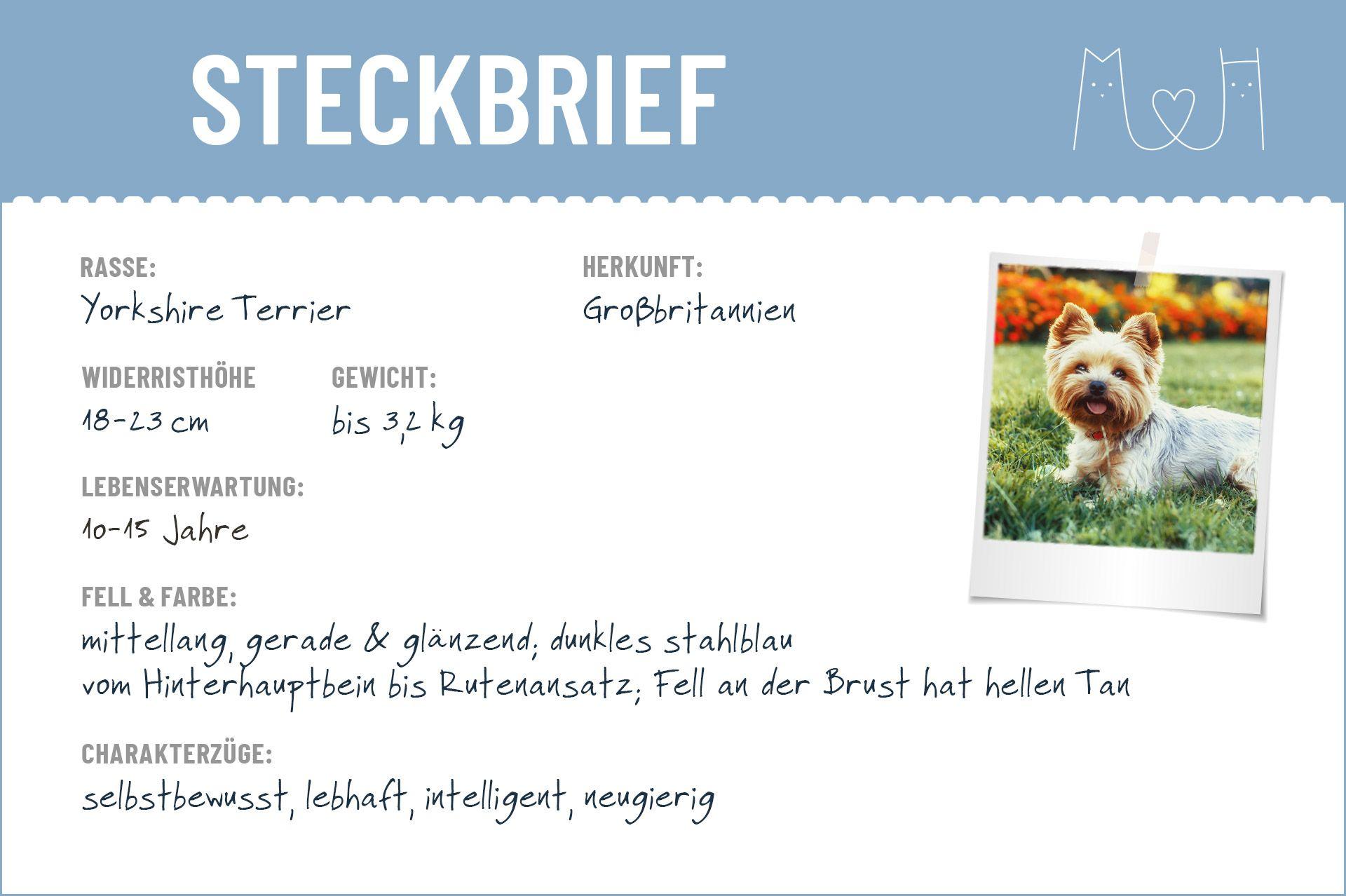 Yorkshire Terrier Steckbrief In 2020 Mit Bildern Yorkshire Terrier Terrier Yorkshire